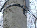 ブナ林に設置したデンドロメータ-